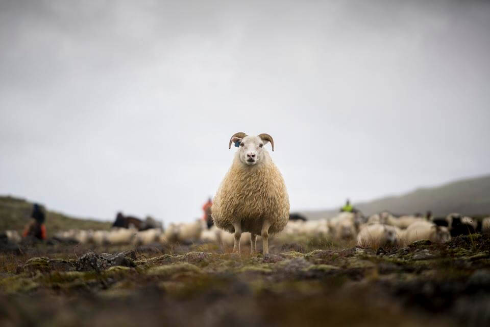 fotoresa-island-sheep