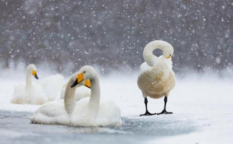 Följ med på en fotoresa till Japan. Fotografera svanar i snöfall