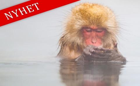 Fotoresa Japan. Makaker som badar och havsörnar som letar sig in vid packisen.