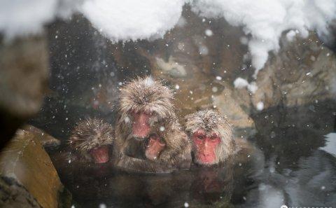 Följ med på en fotoresa till Japan. Fotografera Japanska makaker