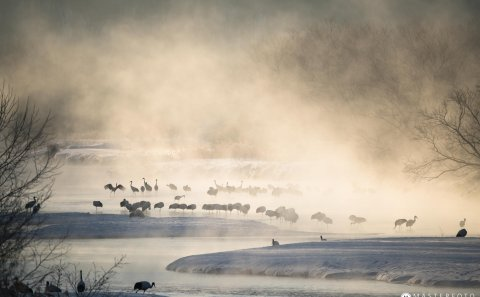 A very cold night at -20 degrees and the red-crowned cranes warming up in the hot natural spring surrounded by morning mist. Later on they continue their journey to gather some food for the day.