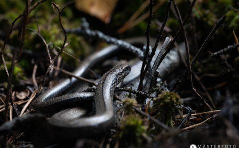 Fotografera ormar och andra smådjur i Tyresta nationalpark